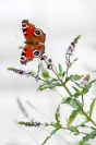 Paon du jour : Papillon, Insecte, Lépidoptère, Paon du jour, Papillon sur menthe sauvage, Menthe sauvage, Aglais io