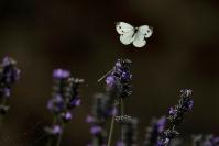 Piéride du choux : Papillon, Insecte, Lépidoptère, Piéride du choux, Papillon en vol, Pieris brassicae