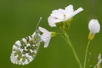 Papillon aurore : Insecte, Lépidoptère, Papillon, Aurore, Prairie