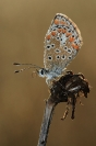 Papillon azuré : Insecte, Lépidoptère, Papillon, Azuré, Prairie
