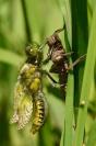 Emergence libellule : Insecte, Odonate, Libellule, Emergence, Libellule déprimée, Mare, Etang