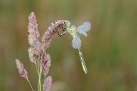 Libellule gomphe joli : Insecte, Odonate, Libellule, Gomphe joli, Mare, Etang