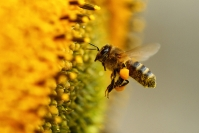 Abeille domestique : Hyménoptère, Insecte, Abeille domestique, Apis mellifeca, Abeille butine, Insecte butineur, Tournesol