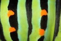Chenille de Machaon : Papillon, Insecte, Lépidoptère, Chenille machaon, Papilio machaon