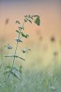 Le souci : Papillon, Insecte, Lépidoptère, Colias croceus, Papillon souci, Souci