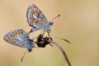 Accouplement d'argus : Papillon, Insecte, Lépidoptère, Argus, Accouplement papillon