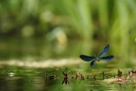 Caloptéryx en vol : Caleopteryx en vol, caleptéryx éclatant, Calopteryx splendens, Demoiselle, Odonate, Rivière, Ruisseau, Torrent