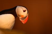 _06W0616 : Macareux moine, Fratercula arctica, Atlantic Puffin, Islande