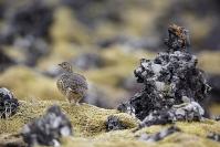 Lagopède alpin : Lagopède alpin, Lagopus muta, Rock Ptarmigan, Islande