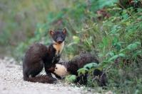 Martre des pins : Mammifère, Mustélidés, Martre, Forêt
