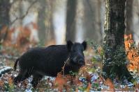 Sanglier dans la neige : Mammifère, Suidés, Sanglier, Forêt