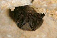 Barbastelle : Mammifère, Chiroptères, Chauve souris, Barbastelle, Grotte, Bocage