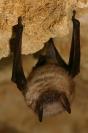 Vespertillon à oreilles échancrées : Mammifère, Chiroptères, Chauve souris, Vespeertillon à oreilles échancrées, Grotte, Bocage