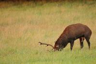 Brame du cerf élaphe exitation : Mammifères, Cervidés, Cerf élaphe, Cerf, Forêt, Brame du cerf
