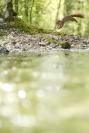 _Ecureuil roux : Ecureuil roux, Sciurus vulgaris