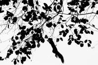 Ecureuil roux : Ecureuil roux, Sciurus vulgaris