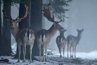 Daim en hiver : Mammifères, Cervidés, Daim, Dama dama, Forêt, Hiver, neige
