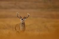 Brame cerf : Mammifères, Cervidés, Cerf élaphe, Cerf, Forêt, Brame du cerf, Ecosse, île Hybride