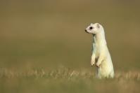 Hermine blanche : Mammifères, Hermine, Hermine blanche, Mustélidé, Mustela erminea, Prairies, Montagne
