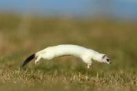 Hermine blanche saut : Mammifères, Hermine, Hermine blanche, Mustélidé, Mustela erminea, Prairies, Montagne