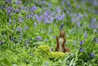 Ecureuil dans les jacinthes des bois : Mammifères, Ecureuil, Ecureuil roux, Forêt, Bocage, Sciurus vulgaris, Jacinthes des bois