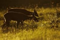 Chevreuil contre jour : Mammifères, Chevreuil, capreolus capreolus, Cervidés, Forêt, Bocage, Contre jour