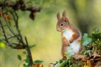 Ecureuil roux : Mammifères, Ecureuil, Ecureuil roux, Forêt, Bocage, Sciurus vulgaris