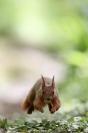 La course de l'écureuil : Mammifères, Ecureuil, Ecureuil roux, Forêt, Bocage, Sciurus vulgaris