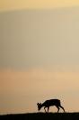 Chevreuil velour contre jour : Mammifères, Chevreuil, capreolus capreolus, Cervidés, Forêt, Bocage, Contre jour