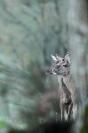 Biche : Mammifères, Cervidés, Cerf élaphe, Cerf, Forêt, Brame du cerf