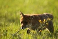 Renard roux : Renard, Canis vulpes, Mammifères, Canidés, Mulotage, chasse, Prairie