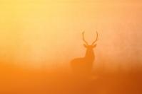 Cerf brume : Mammifères, Cervidés, Cerf élaphe, Cerf, Forêt, Brame du cerf, Ecosse, île Hybride