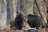 Rut sanglier combat : Mammifère, Suidés, Sanglier, Forêt, Rut sanglier, Combat sanglier
