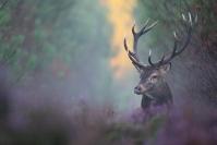 Cerf élaphe dans bruyère : Mammifères, Cervidés, Cerf élaphe, Cerf, Forêt, Brame du cerf