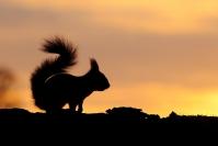 Ecureuil roux contre jour : Mammifères, Ecureuil, Ecureuil roux, Forêt, Bocage, Sciurus vulgaris, Contre jour