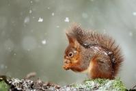 Ecureuil roux neige : Mammifères, Ecureuil, Ecureuil roux, Forêt, Bocage, Sciurus vulgaris, neige