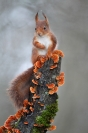 Ecureuil roux : Mammifères, Ecureuil, Ecureuil roux, Forêt, Bocage, Sciurus vulgaris, champignons