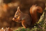 Ecureuil roux : Mammifère, Rongeur, Ecureuil roux, Forêt, Bocage