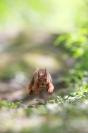 La couse de l'écureuil : Mammifères, Ecureuil, Ecureuil roux, Forêt, Bocage, Sciurus vulgaris