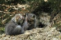 Renardeau au terrier : Mammifère, Canidés, Renard, Forêt, Bocage