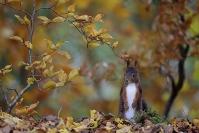 Ecureuil en automne : Mammifères, Ecureuil, Ecureuil roux, Forêt, Bocage, Sciurus vulgaris