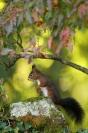 Ecureuil dans le fusain : Mammifères, Ecureuil, Ecureuil roux, Forêt, Bocage, Sciurus vulgaris, fusain
