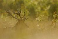 Cerf élaphe : Mammifères, Cervidés, Cerf élaphe, Cerf, Forêt, Brame du cerf
