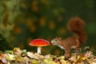 L'écureuil et l'amanite : Mammifères, Ecureuil, Ecureuil roux, Forêt, Bocage, Sciurus vulgaris, Amanite tue mouche