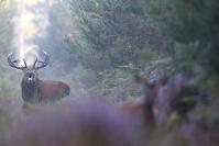 Brame du cerf : Mammifères, Cervidés, Cerf élaphe, Cerf, Forêt, Brame du cerf