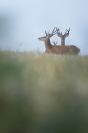 Cerfs en velour : Mammifères, Cervidés, Cerf élaphe, Cerf, Forêt, Brame du cerf