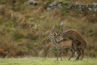 Accouplement cerf élaphe : Mammifères, Cervidés, Cerf élaphe, Cerf, Forêt, Brame du cerf, Ecosse, île Hybride