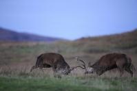 Combat de cerfs : Mammifères, Cervidés, Cerf élaphe, Cerf, Forêt, Brame du cerf, Ecosse, île Hybride
