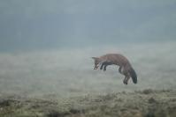 Mulotage renard : Renard, Canis vulpes, Mammifères, Canidés, Mulotage, chasse, Prairie, foin
