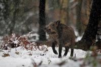 Sanglier sous la neige : Mammifère, Suidés, Sanglier, Forêt, Sanglier neige
